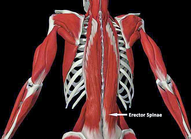 Erector Spinae. Photograph: dynorock.wordpress.com