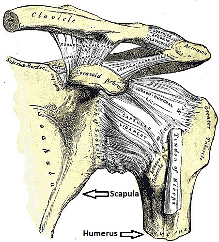 Note relationship of the scapula and the humerus.